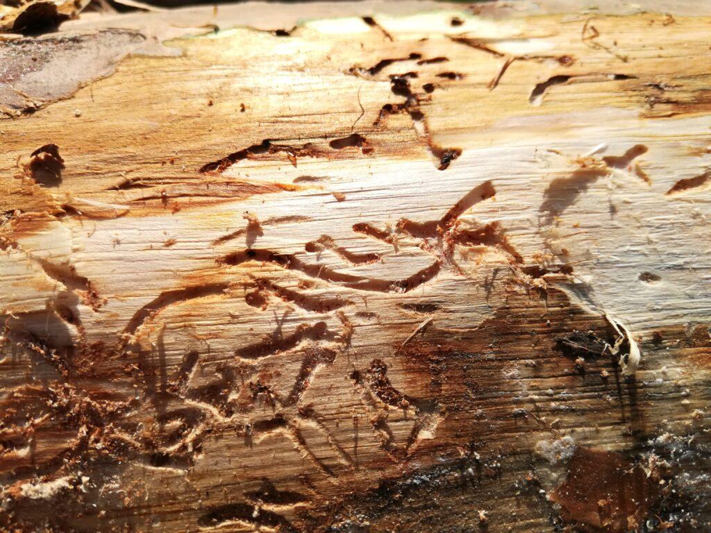 Способы борьбы с жуком короедом